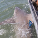 Rare Speartooth Sharks caught and tagged in Australia