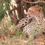 Funding grant for Cheetah in a race against extinction