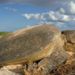 Guests Help Gather Crucial Turtle Data At Ramada Eco Beach Resort