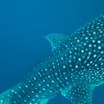 Where have the largest whale sharks gone?