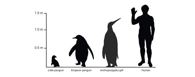 A 40 Million Year Penguin Parade